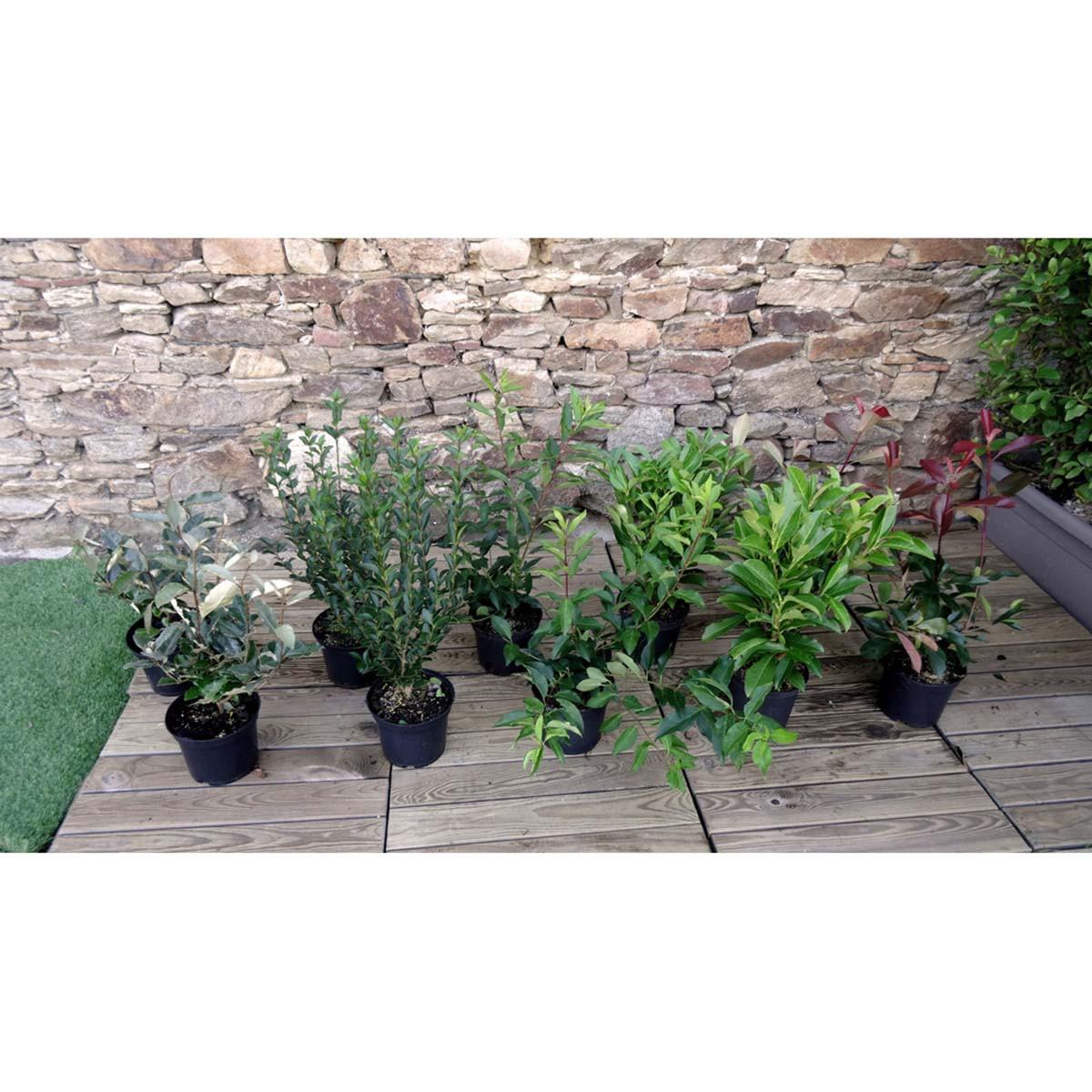 Kit de haie croissance rapide 10 plantes pour 10 m de haie jardinerie labelle - Plante croissance rapide ...